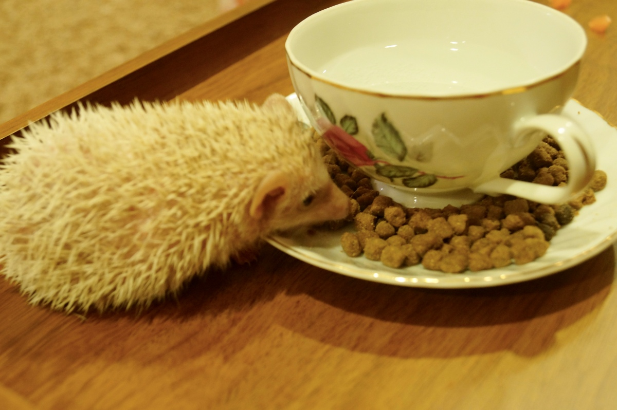Should you feed your spiky friend hedgehog food or cat food?