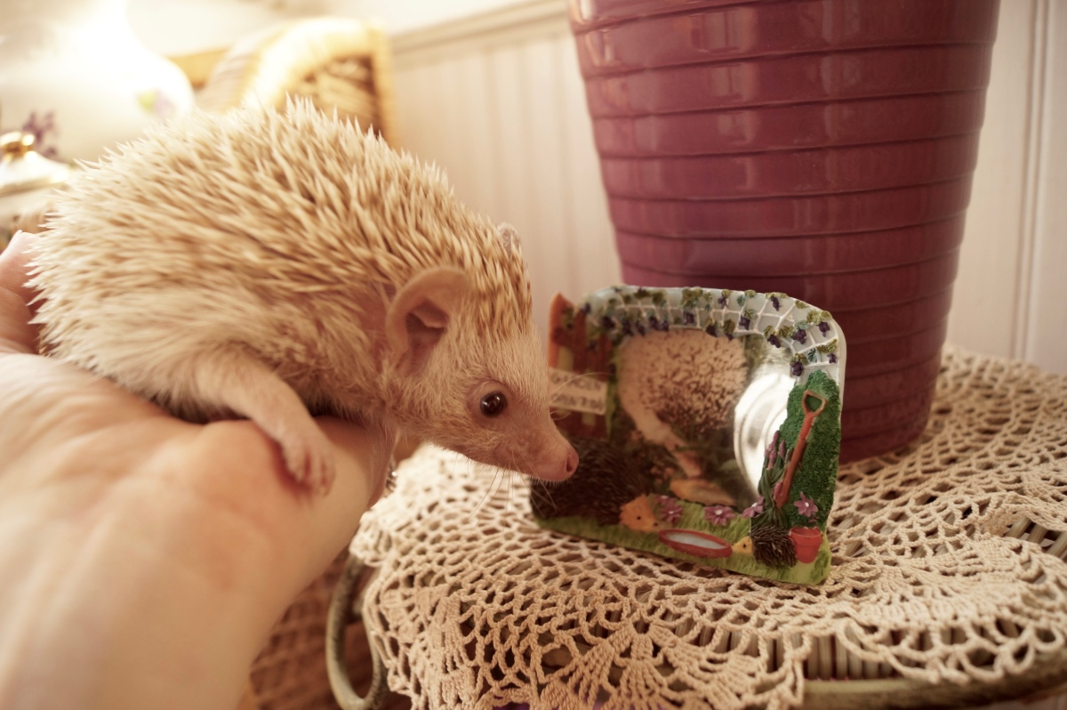 Good grief: Face your hedgehog's death with tears